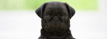 Black Pug Puppy Cover Photo