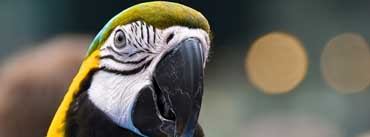 Parrot Ara Ararauna Head Cover Photo