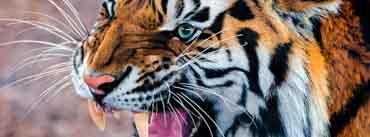 Snarling Tiger Cover Photo