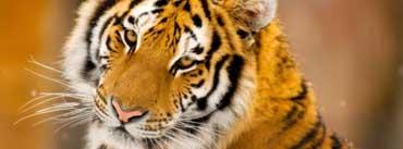 Siberian Tiger Face Cover Photo