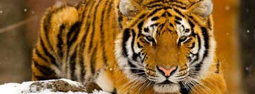 Siberian Tiger In Snow Cover Photo