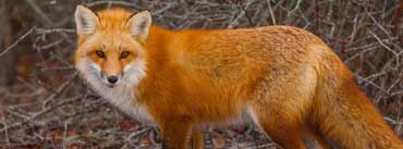 Red Fox Cover Photo