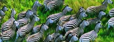 Running Zebras Cover Photo