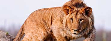 Male Lion Cover Photo
