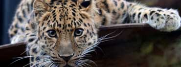 Leopard Ready To Attack Cover Photo