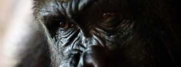 Gorilla Portrait Cover Photo