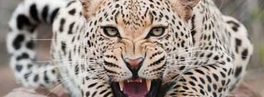 Snarling Leopard Cover Photo