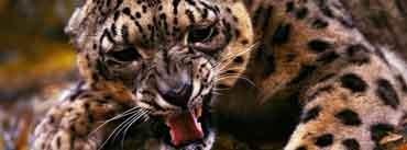 Angry Cheetah Cover Photo