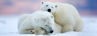 Alaska Two White Bears Cover Photo