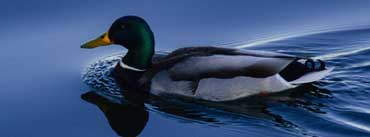 Mallard Duck On Lake Cover Photo