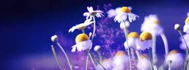 Beautiful Chamomile Flowers Cover Photo