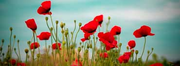 Beautiful Poppy Field Cover Photo