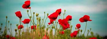 Beautiful Poppy Field Cover Photo