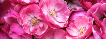 Beautiful Wild Roses Cover Photo