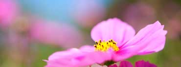 Cosmos Flower Cover Photo