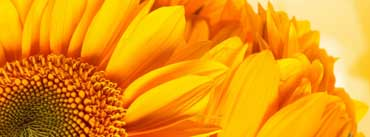 Golden Sunflowers Cover Photo