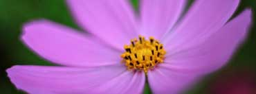 Pink Cosmos Flower Macro Cover Photo