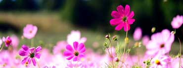 Pink Cosmos Flowers Cover Photo