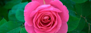 Pink Rose Cover Photo