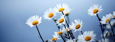 White Daisies Flowers Cover Photo