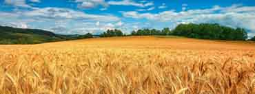 Golden Wheat Field Cover Photo