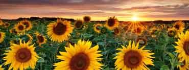 Sunflower Garden Cover Photo
