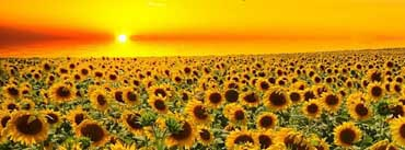 Sunset Over Sunflowers Field Cover Photo