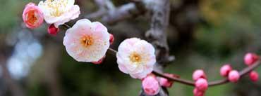 Apricot Blossoms Cover Photo