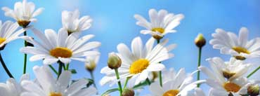 Daisies Cover Photo