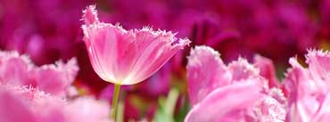 Pink Tulips Cover Photo