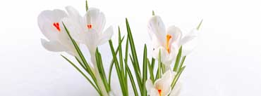 White Crocus In The Snow Cover Photo