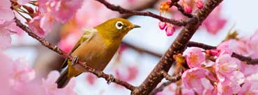 Yellow Bird On A Cherry Blossom Tree Branch Cover Photo