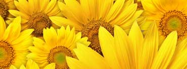Sunflowers Cover Photo