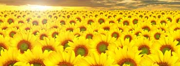 Sunflowers Field Cover Photo