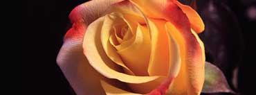 Beautyful Rose Cover Photo