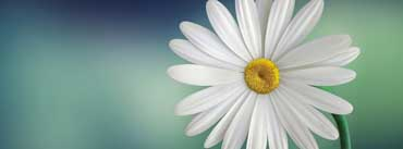 Marguerite Daisy Flower Cover Photo