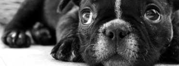 Black French Bulldog Puppy Cover Photo