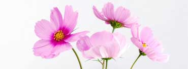 Cosmos Flowers Cover Photo