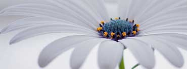 White Osteospermum Flower Cover Photo