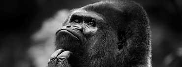 Thoughtful Gorilla Bw Cover Photo