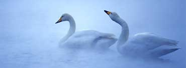 White Swans Fog Lake Cover Photo