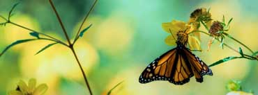 Monarch Butterfly On A Yellow Flower Cover Photo