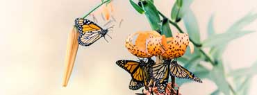 Monarch Butterflies Cover Photo