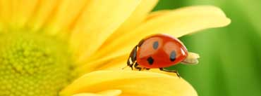 Ladybug On Yellow Flower Cover Photo