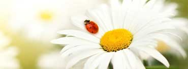 Ladybug On A Daisy Cover Photo