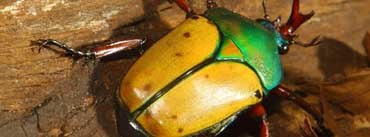 Yellow Green Beetle Cover Photo