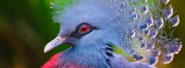Victoria Crowned Pigeon Cover Photo