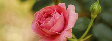 Cute Pink Rose Cover Photo