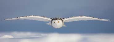 Snowy Owl Flying Cover Photo