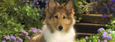 Lounging Sheltie Puppy Cover Photo